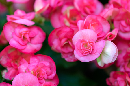 Numerous bright flowers of tuberous begonias (Begonia tuberhybrida) in garden.