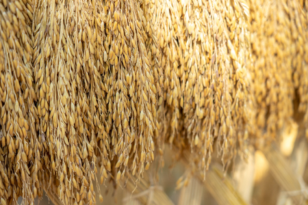 Dry rice grains in the background Before entering the golden rice grain sorting machine