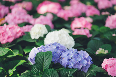 Closeup of hydrangea (Hydrangea macrophylla) are blooming in spring and summer at a town garden. The Japanese call this