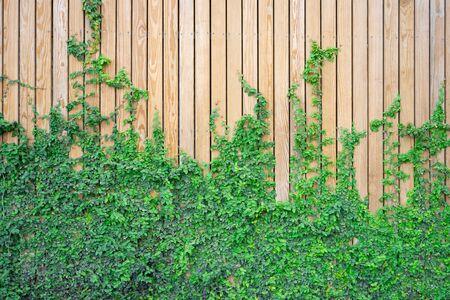 Die Wand ist aus Holz. Es gibt Schlingpflanzen an der linken Wand. Diese Wand ist im englischen Stil beliebt. Auch als Vintage-Stil bekannt. als Hintergrund mit Kopienraum.