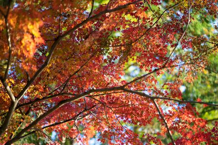 Maple leaves change color. From green to yellow until it reaches red in the park. The city of Kyoto has a light through the sun through the shadow.