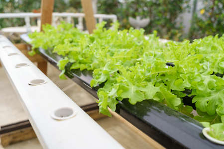 Growing vegetables without using soil or calling another type Hydroponic Vegetable Growing The concept of organic vegetables, food, health, agriculture, limited space