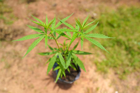The marijuana planted in a potted plant. Marijuana can be taken as a medicine for treatment. But if used in the wrong way, it could be addictive. Stock fotó