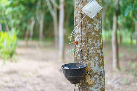 Rubber tree (Hevea brasiliensis) produces latex by using ethylene gas to accelerate productivity. Latex like milk Conducted into gloves, condoms, tires, tires and so on.