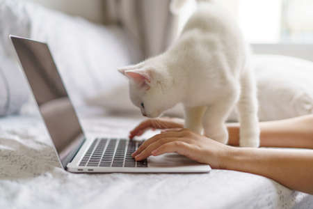 New Normal work from home with Cute white cat british shorthair kitten looking at notebook. Working Online Or Studying And Learning While. Freelance Work, Business and Work from home concept 免版税图像