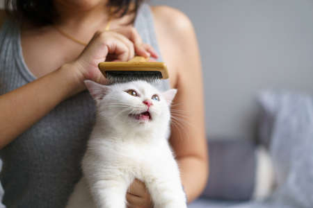 Woman combing cute white cat british shorthair kitten with brush and enjoying. Cleaning the coat of a Tabby cat lying. Domestic animal. Looking at copy-space. Banner
