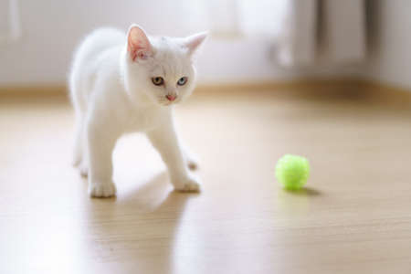 Cute white cat british shorthair kitten plays with a cat feather toy in bedroom. Domestic animal. Looking at copy-space. Banner 免版税图像