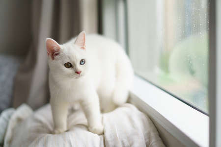 portrait of Cute white cat british shorthair kitten looking at camera on bed. Domestic animal. Looking at copy-space. Banner