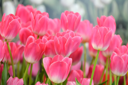 pink tulips: Pink tulips Stock Photo