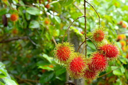 Red rambutan fruit with green hair on the tree.