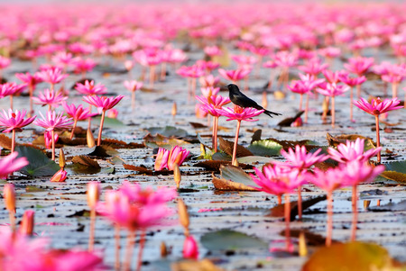 Birds on the lotus in red lotus sea.