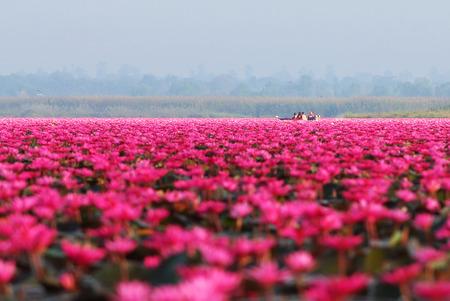 Touristen machen eine Bootsfahrt im Meer des roten Lotos Udon Thani, Thailad am Morgen. Standard-Bild - 81555399