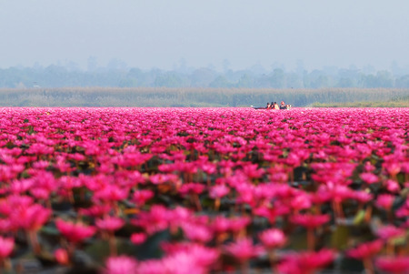 Tourists are taking a boat ride in red lotus sea Udon Thani,Thailad in the morning.