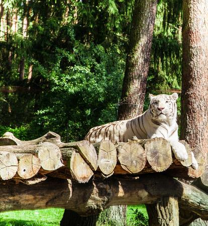 testicular: White Tiger
