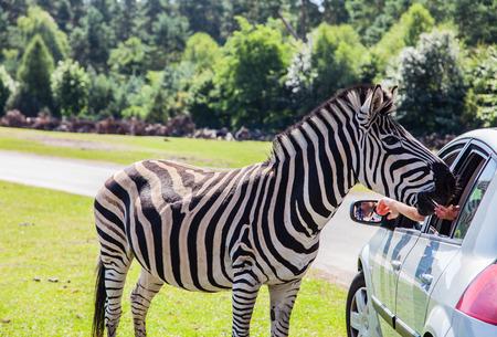 tame: Tame zebra on a car