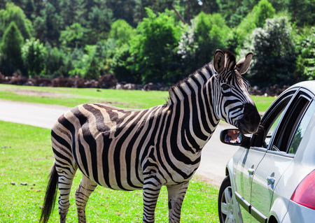 testicular: Tame zebra on a car