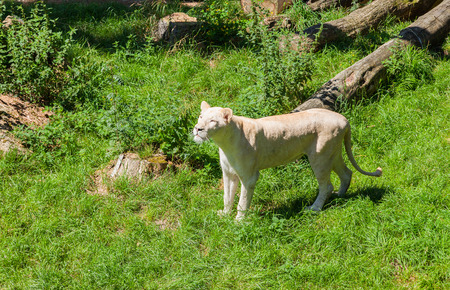 testicular: White Lioness Stock Photo
