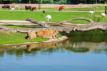 plumb: capybara, the largest rodent in the world with other animals Stock Photo