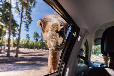 testicular: A camel looking in the window of a car