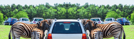 testicular: Mother and baby - Zebra on a car - Panorama