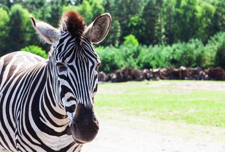 testicular: Zebra Stock Photo