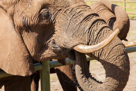 testicular: Portrait of an elephant Stock Photo