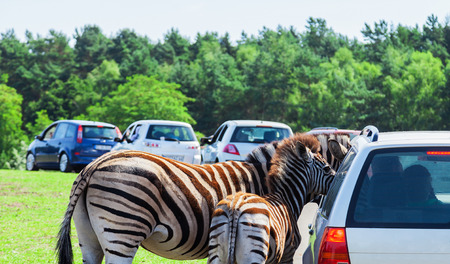 testicular: Mother and baby - Zebra on a car