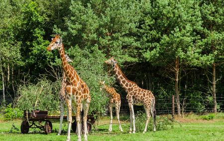testicular: Giraffe herd during feeding Stock Photo