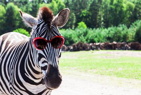 Funny zebra met een zonnebril Stockfoto
