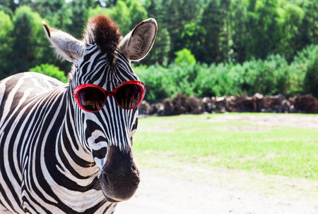 funny animals: Funny zebra with sunglasses Stock Photo