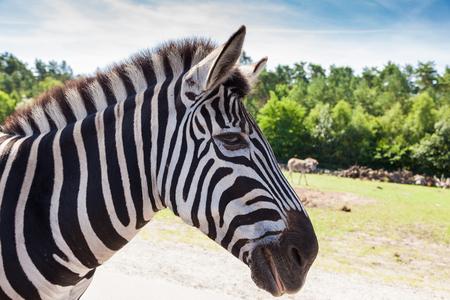 testicular: Portrait of a zebra