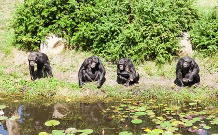 chimpances: Un grupo de chimpanc�s Foto de archivo