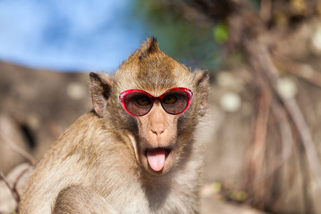 sticking out tongue: Funny rhesus monkey with tongue sticking out and sunglasses