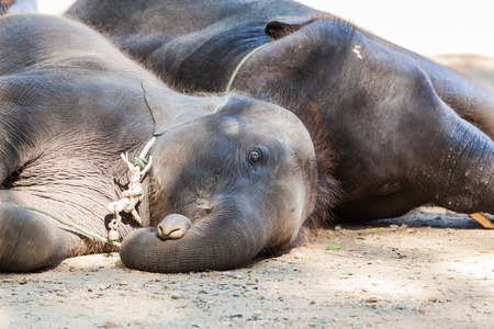 Two elephants lying on its side.