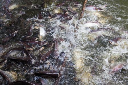 pisciculture: Iridescent shark in a fish farm, feeding catfish Stock Photo