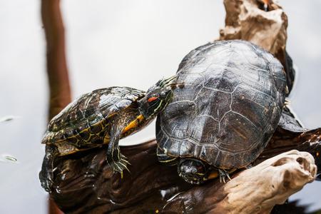 ugliness: Two Red-eared slider turtle Trachemys scripta elegans