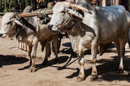 oxen: Closeup of two oxen are harnessed to in fact oxcartbullock cart Stock Photo