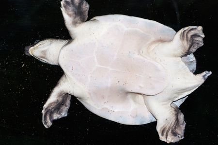 Closeup of a sea turtle from the bottom. Stock Photo