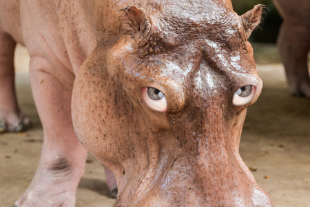 loopy: Portrait of a hippo head with human eyes- composing Stock Photo
