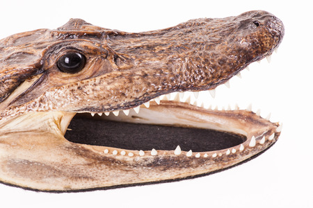Preserved crocodile head-isolated