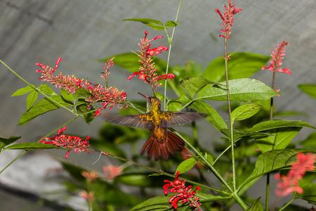 Colibrí en vuelo sobre una flor Foto de archivo