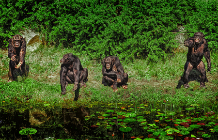 chimpances: Un grupo de chimpancés Foto de archivo