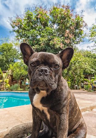 French bulldog at the swimming pool Stock Photo