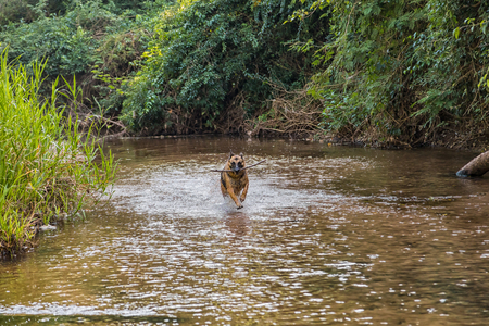 German shepherd dog while running in a river in paraguayan rainforest. Stock Photo