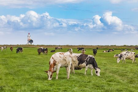 A herd of grazing cows in front of the lighthouse in Marken, a small island in the middle of the marmer in the Netherlands. 版權商用圖片