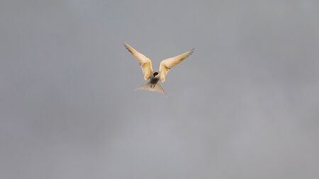 Seagull photographed during flight in search of food - isolated