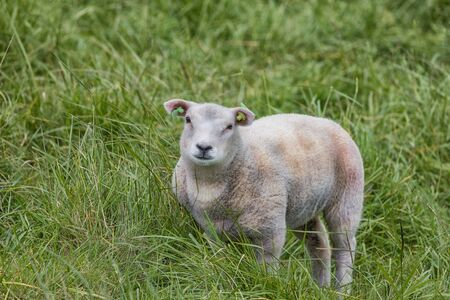 Charming little lamb on a meadow with double