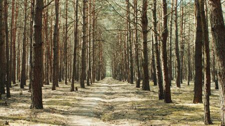 Alley footpath in the pine forest