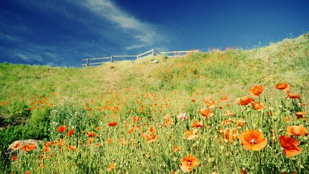 Bright red poppies on a hillside in a summer bright sunny day. High dynamic range.