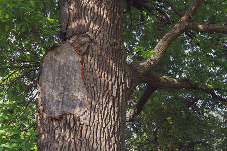 Damaged old oak tree is repaired with patch made of cement. Stok Fotoğraf